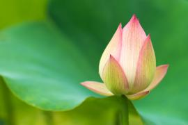 Resilience Counselling Lotus bud